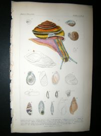 Cuvier C1835 Antique Hand Col Print. Shells #12 Shells,Sea Snail
